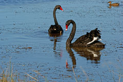 Black Swans. Pair of  Black Swans(Cygnus atratus) on lake in south western Victoria Stock Photography