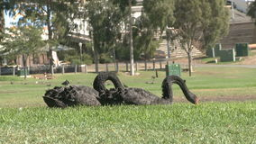 Black Swans in Park Royalty Free Stock Photo