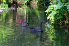 Black swans. In the park Terra Nostra Institute Furnas, Azores Stock Image