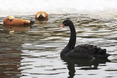 Black Swans. Pond in the Moscow zoo Stock Images