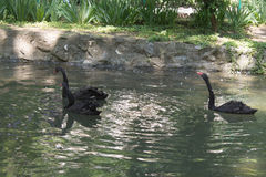 Black swans in a pond. Three black swans swimming in a pond Royalty Free Stock Photography