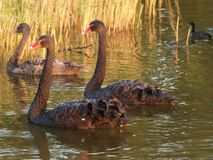 Black swans in a pool swimming while sun is going under in the Netherlands.  Stock Photo