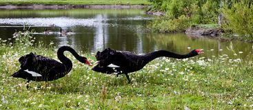 Black swans with red beaks. In zoo royalty free stock image