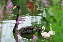 Black swans in a river. A mature black swan and two little ones are swimming in a river in the Old Summer Palace Stock Photos