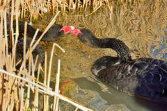 Black swans on river Royalty Free Stock Images