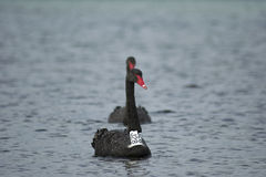 Black swans in the sea/ocean, tagged black swan Stock Photos