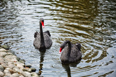 black swans Royalty Free Stock Photo