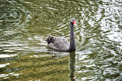 Black swans Stock Images