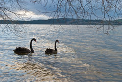 Black swans in the sunset lake Royalty Free Stock Image
