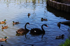 Black swans surrounded by ducks. Black swans surrounded by ducks swim in the pond in the Park royalty free stock image