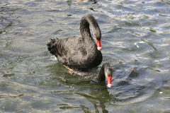 Black Swans. The Black Swan (Cygnus atratus) is a large waterbird which breeds mainly in the southeast and southwest regions of Australia Stock Photos