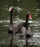 Black Swans at Swan Lake and Iris Gardens Royalty Free Stock Photos