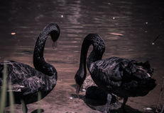 Black Swans at Swan Lake and Iris Gardens Royalty Free Stock Images
