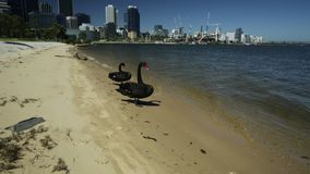 Black Swans on Swan River Perth. Two Black Swans on the shoreline of Swan River in Perth, Western Australia. Perth city skyline with its modern skyscrapers on stock video