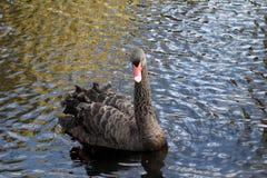 Black swans Royalty Free Stock Photos
