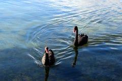 Black Swans, Swans, Black, Lake Stock Photography