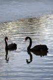 Black swans swim on a pond. Black beautiful elegant swans swim on a grey pond. Color photo royalty free stock photos