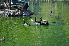Black swans swim in a pond. Moscow Zoo. Russia Stock Photo