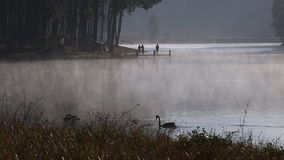 Black swans swimming in foggy lake stock video footage