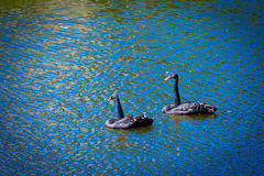 Black swans swimming Royalty Free Stock Photo