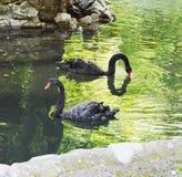 Black swans swimming Stock Photos