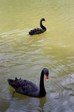 black swans swimming two Στοκ Εικόνα