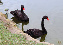 Black swans Stock Photo