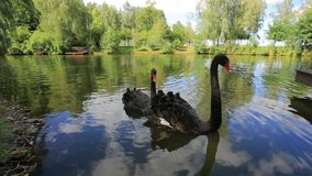 Black Swans. Two black swans swimming in a lake stock video footage