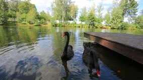 Black Swans. Two black swans swimming in a lake stock footage