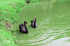 Black Swans. Two Black Swans in water Stock Images