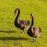 Black swans walking across grass lawn Stock Photos
