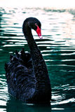 Black swans in water pool Stock Photos