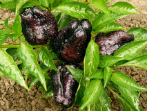 Black sweet peppers Stock Images