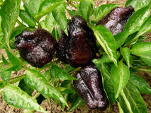 Black sweet peppers Royalty Free Stock Image