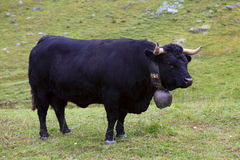 Black Swiss cow Royalty Free Stock Photography