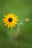 black synad blomma susan Royaltyfria Foton