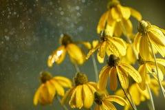 black synad blomma susan Arkivbild