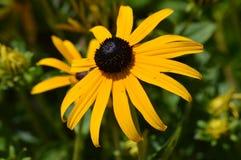 black synad blomma susan Royaltyfri Bild
