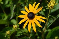 black synad blomma susan Arkivbilder