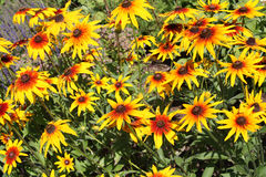 black synad blommarudbeckia susan Arkivbild