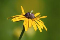 black synad inchworm susan Arkivfoton