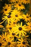 black synade blommor susan Fotografering för Bildbyråer