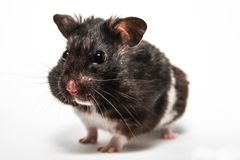 Black syrian hamster, studio with white background Royalty Free Stock Photo