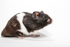 Black syrian hamster, studio with white background Stock Images