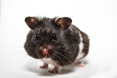 Black syrian hamster, studio with white background Royalty Free Stock Images