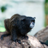 black täckt tamarin Royaltyfria Bilder