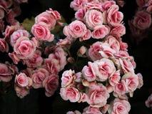 black tła różowe kwiaty, Zdjęcie Royalty Free
