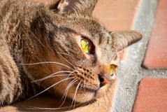 Black tabby cat with green eyes in sunshine. Black tabby cat with green eyes laying in the sunshine on Italian tile royalty free stock image