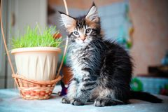 Black tabby color Maine coon kitten playing Royalty Free Stock Image