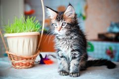 Black tabby color Maine coon kitten playing Royalty Free Stock Photo